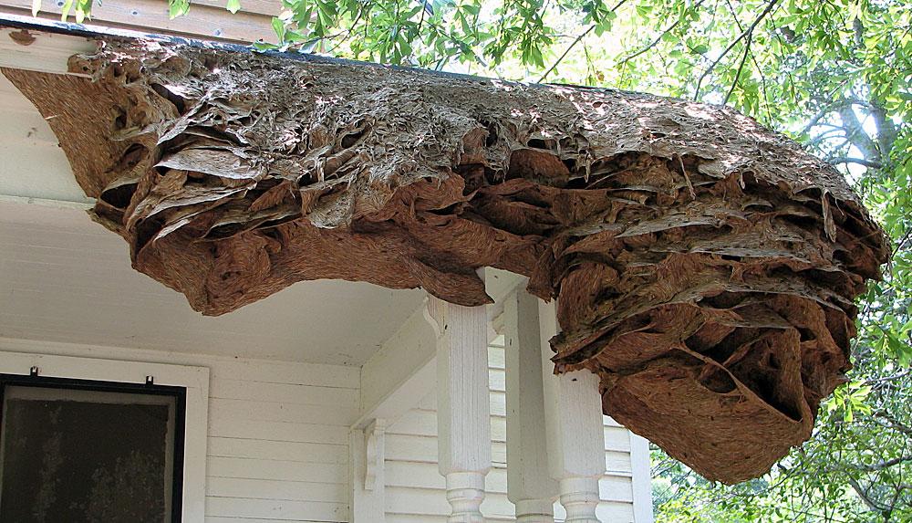 Это гнездо шершней, тоже относящихся к группе бумажных ос.