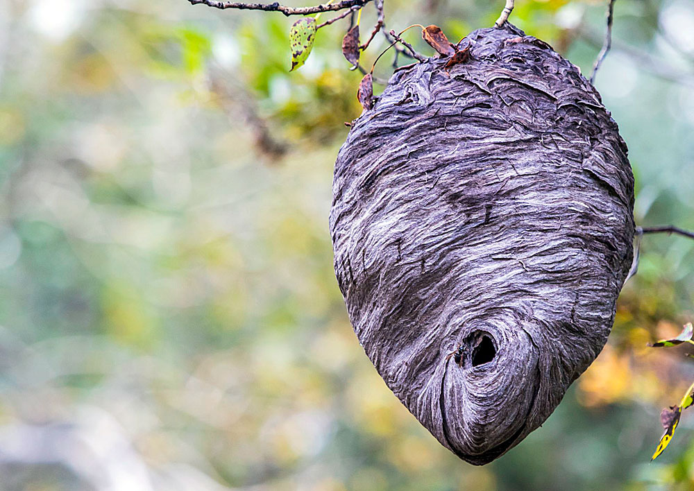 Шершневое гнездо примерно в два раза больше.