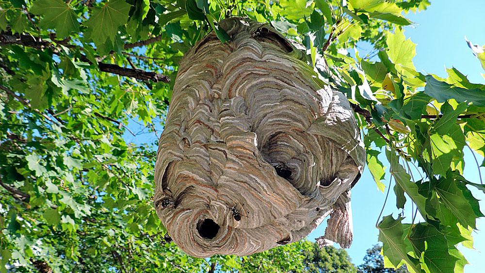 Гнездо шершней на дереве.
