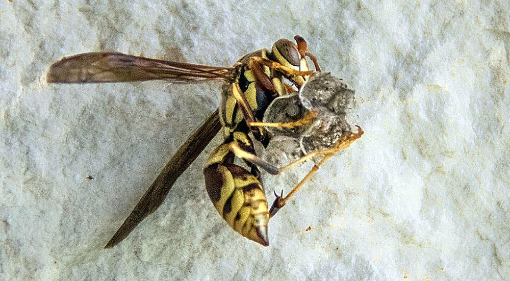 Все работы и по строительству гнезда, и по уходу за первыми личинками на первом этапе ложатся на самку-основательницу.