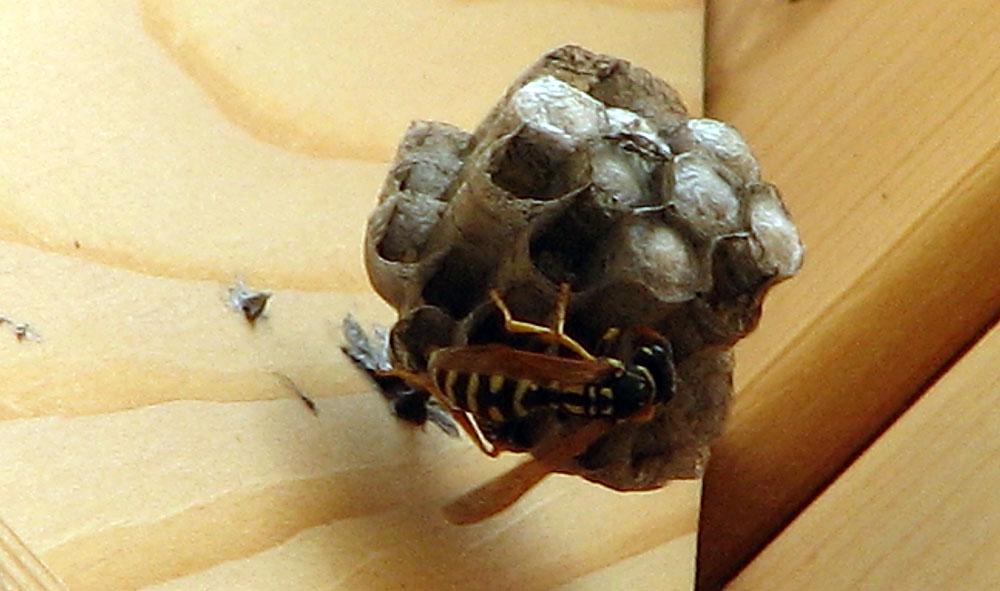 В каждой открытой соте развивается личинка, в закупоренной — куколка.