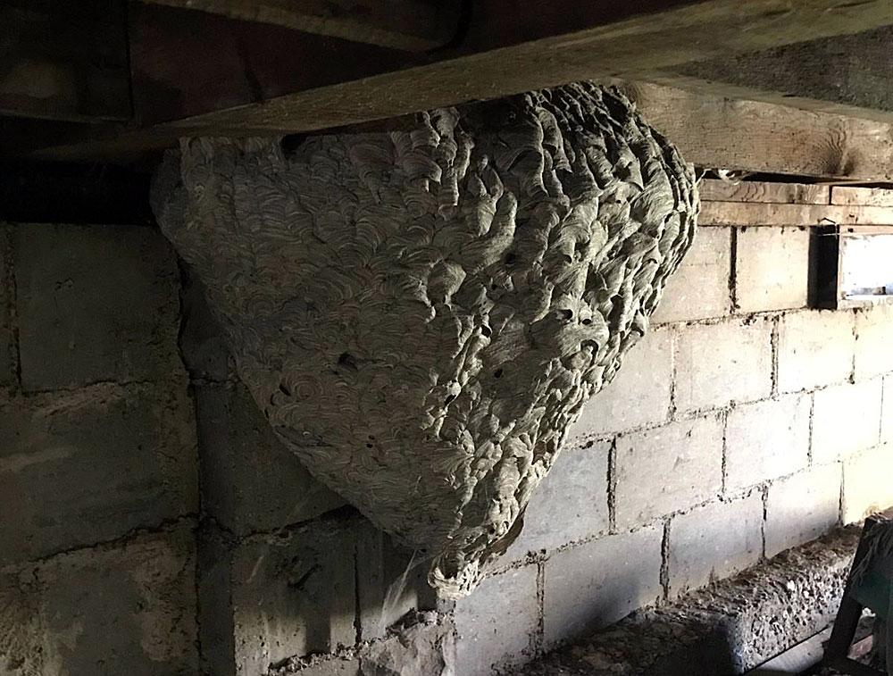 Если бы в этом доме жили люди, гнездо пришлось бы уничтожать ещё на стадии строительства первых ярусов — жизни хозяевам дома осы не дали бы.