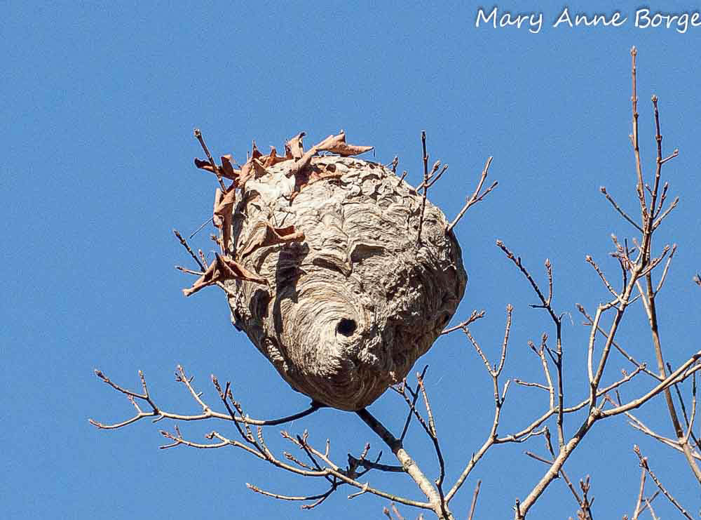 Прошлогоднее шершневое гнездо, покрытое сухими листьями.