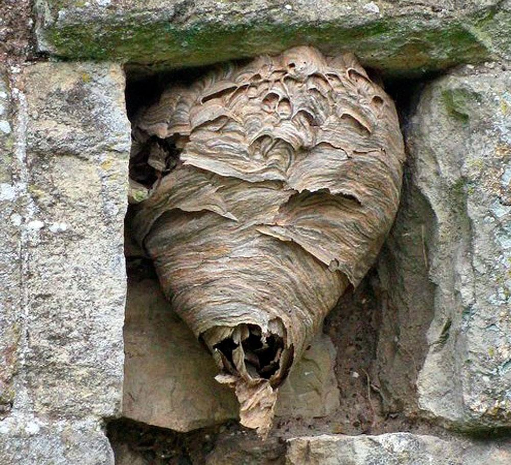 Со временем это гнездо разрастется вперед и потеряет свою форму. Если дезинфектор его не уничтожит, конечно...
