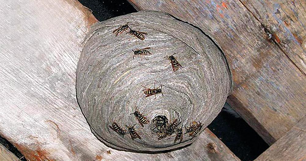 Осы могут надежно закрепить гнездо на любой отвесной поверхности, на деревянной — уж точно.
