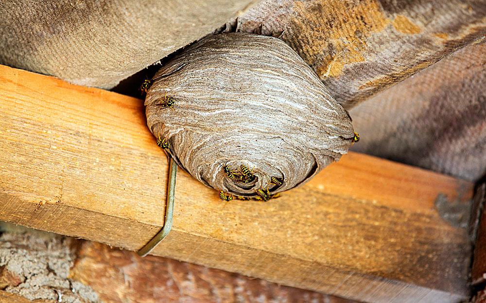 Такое гнездо может быть сложно оторвать от балки, к которой оно прикреплено.