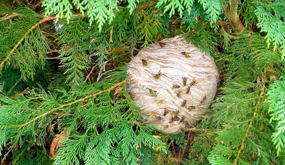 Здесь, в густой хвое, гнездо бывает очень тяжело найти.